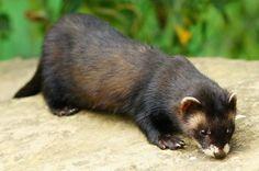Polecat-mink hybrid - Wikipedia, the free encyclopedia European Polecat, Kittens, Cats, My Animal, Mink, Wildlife, Creatures, Ferrets, Welsh