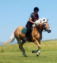 Nuance, BriarCroft Haflinger Horses