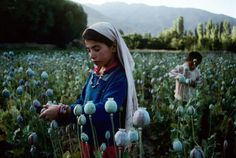 Children work in an opium field in Badakhshan, which is Afghanistan's largest producer of opium, Northern Afghanistan, 1992