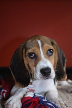 my OWN beagle baby, Harley. Beagles, Dog Houses, Dogs, Baby, Animals, Animales, Animaux, Pet Dogs, Beagle