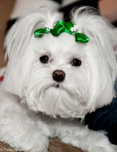 Awwww I LOVE Maltese's ... they are soo adorable