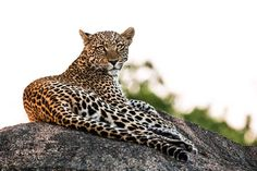 And then he looked into my soul.  Seriously! A moment of the @thomsonsafari #mckaylive trip that will remain etched in my brain forever.  The evening light across his back just lounging on a rock on one of our last nights in the #Serengeti  Captured with the #sonyalpha #Sony #a6300 and @sigmaphoto 150-600 C Lens.  You can learn more about the gear I brought including the a6300 and Sigma 150-600 performance at http://ift.tt/2crAOQS
