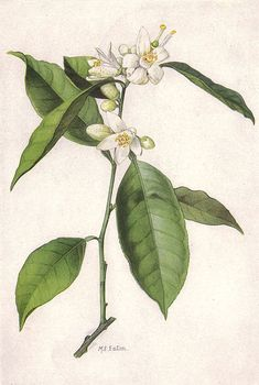 Orange blossom - Wikipedia, the free encyclopedia