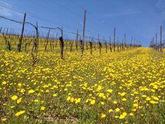 Good morning! Enjoy our vineyards, spring is beautiful