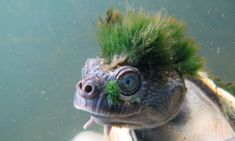The Mary River turtle, found in Queensland, Australia, features on a new list of the most vulnerable reptile species on the planet.