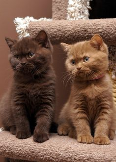 Cooper & Daisy British Shorthair kittens 10 weeks old