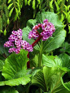 Bergenia cordifolia © Susanna