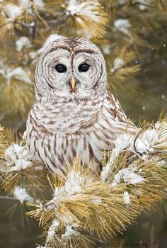 Barred Owl by ~gregster09