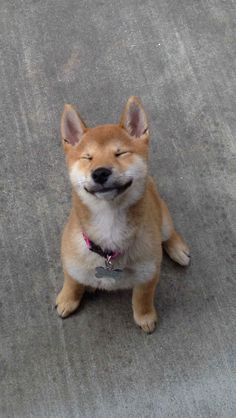 ...Geordi La Shiba, the cutest pet of the week! | Your Cutest Pets Of The Week