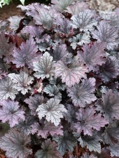 """Heuchera Frosted Violet. The first time I saw this plant growing, at Morton Arboretum, the color took my breath away. Height: Medium 20"""" (30"""" in flower) (Plant 24-30"""" apart)."""