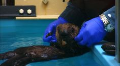 After five days on solid food, at just over four weeks old, 501 was able to pick pieces of clam and squid from a submerged sand bucket in her ICU tank. Let us know what you think about Otter 501: A webStory by completing our short survey at http://www.surveymonkey.com/s/LF9DGTM.