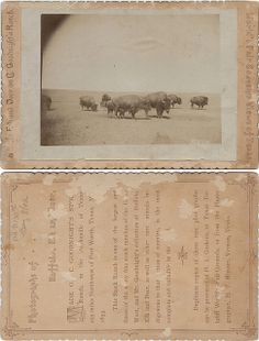 Buffalo on C. Goodnight's Ranch, Texas 1893