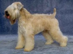 ~ SOFT-COATED WHEATON TERRIER ~