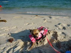 #Cute #Dog #Photography #Animals #Chihuahua #Summer #Model #Beach #Mobile #Alabama #Gulf #Shores #GulfShores #Ocean #Sand