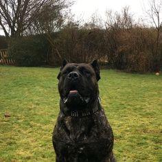 Zorro...😇 #happy #massive #boy #breed #dog #dogs #dogocanario #presacanario #bigdogs #havingfun #big #paws #mastiff #instagood #instaday #follow #pet #love #adventure #havingfun #doggy #zorro #steeljaw #myman #myworld #world #balloon #balloons #muscle #muscles #musclemaniac