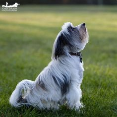 Our 11 year old Tibetan Terrier