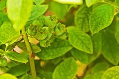 Green Blueberries
