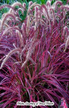 Variegated Purple Fountain Grass - This showy, upright grass has a burgundy mid-vein with hot pink margins. Purple tassels in late summer rise above the foliage. Variegation will fade in bright light and through the season; cut back late winter to expose new foliage.
