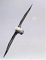 un Albatros à sourcils noirs en vol. On voit le dessous des ailes, blanc avec une large bordure noire.
