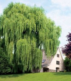 Oh willows are GLORIOUS when they're like this. We have three that used to look like this but we had to cut them way back after a series of droughts.