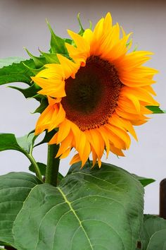 Free Image on Pixabay - Sunflower, Flowers, Blossom, Bloom Hd Flowers, Flora Flowers, Sunflower Garden, Sunflower Flower, Blossom Flower, Flower Art, Lilies Drawing, Fuerza Natural, Growing Sunflowers