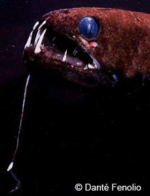 Closeup of a dragonfish showing its light-producing barbel