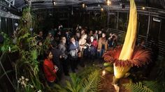 """A Titan Arum, one of the world's largest, rarest and smelliest flowers, is in bloom in a Brussels hothouse for the third time in five years in a rare botanical feat for a plant that generally goes years without blooming. Variously known as a """"corpse flower"""" in Indonesia where first found, or """"huge deformed penis"""" under its scientific name, """"Amorphophallus titanum"""", the strange but spectacular specimen began to bloom Sunday..."""