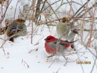 Puffy Pine Grosbeaks, Wawa Ontario