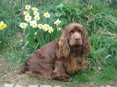 Sussex Spaniel ~ Classic Look & Trim