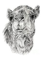 Camel-Drawing