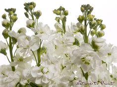 Träumen von weißen Levkojen.  Levkojen für den Garten ansäen und richtig pflegen. Erfahren Sie mehr über die romantische Sommerblume