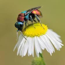 Cuckoo wasp .