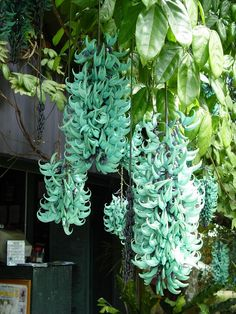 Jade Vines in bloom, they are climbing vines with similar habits to wisteria, large hanging clusters of turquoise blossoms.