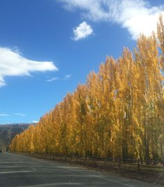Golden poplars on the road to Cromwell Queenstown NZ