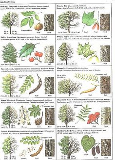 How Can Leaves Identify A Tree - Phenology - Science with Grambo----- Their sugar maple looks an awful lot like a Norway Maple - not so good for maple sugar. Garden Trees, Garden Plants, Trees And Shrubs, Trees To Plant, Tree Leaf Identification, Hickory Tree, Baumgarten, Flora Und Fauna, Tree Leaves