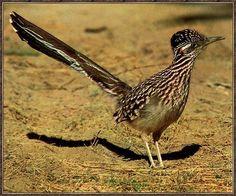 Desert animals - Roadrunner (Geococcyx californianus) ; Image ONLY
