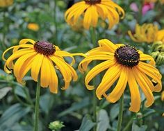 Early Bird Gold Gloriosa Daisy (Rudbeckia fulgida 'Early Bird Gold') blooms continuously from early summer to mid-fall; neaten by removing spent stems. Partial to full sun; regular watering in extreme  heat, otherwise drought tolerant. Grows 18 to 24 inches tall and wide. Zones 4 to 10; Monrovia