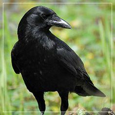 Curiosidade, inteligência, observação, visão e comunicação. O corvo é um mestre em mudanças e movimento. Ele é destemido e o guardião de coisas ocultas e sagradas. Ele é o interprete do desconhecido.