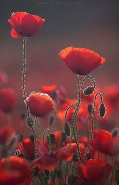 Orangey-red Poppies - COLOR painted as a backdrop!