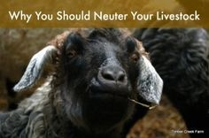 Neuter Livestock. Its  a Matter of Safety - Maintaining a safe environment on the homestead or small backyard farm is of primary importance. Most of us, in this situation, are not running a breeding operation. We are raising animals for weed control, meat for our table, eggs, and other things like fiber and fleeces.