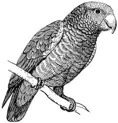 Parrot Line Drawing Outline Drawings, Bird Drawings, Animal Drawings, Outline Pictures, Linolium, Amazon Parrot, Dog Vector, Vector Graphics, Black And White Drawing
