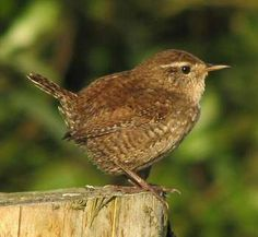 Wren. The wren is a tiny brown bird, although it is heavier, less slim, than the even smaller goldcrest. It is dumpy, almost rounded, with a fine bill, quite long legs and toes, very short round wings and a short, narrow tail which is sometimes cocked up vertically. For such a small bird it has a remarkably loud voice. It is the commonest UK breeding bird, although it suffers declines during prolonged, severely cold winters.