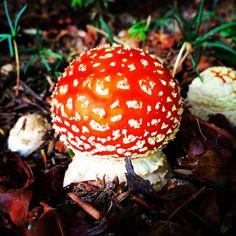 ... un funghetto trallala', Amanita muscaria