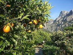 "Hardy Citrus Cultivars Edible Fruit: 'Segentrange Curafora' (-10°C, fruit sweet, thin rind, easy to peel, few or no seeds, evergreen, F2-parents: (Poncirus trifoliata x Citrus sinensis) Cultivar 'Sanford' x C. reticulata ?) 'Segentrange Hybrid 119' (-12°C, fruit sweet, juicy, 7cm/3"" diameter, early, evergreen, F2-parents: (Poncirus trifoliata x Citrus ´ paradisi 'Duncan') x Citrus sinensis 'Succory') 'Segentrange Thomasville' (-10°C, fruit sweet, juicy, egg-shape and -size, evergreen,"