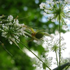 Kürbisspinne (Araniella sp.)