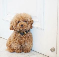 Poodle Dogs Here is a gallery of 30 small dogs with super great small dog names. - Do you have a small dog who needs an amazing name? We've got you covered. Cute Puppies, Cute Dogs, Dogs And Puppies, Chihuahua Dogs, Doggies, Baby Animals, Cute Animals, Tea Cup Poodle, Teacup Poodle Puppies