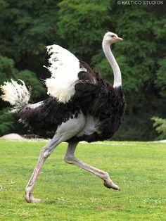 ostrich running wpz P7238003r3 | Flickr - Photo Sharing!