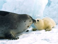 Kissy Kissy Harp Seals