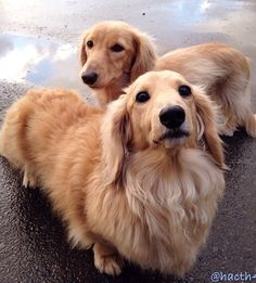 Adorable cream longhaired doxies