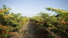 Peppers ripening on the bush in the pepper fields at the Tabasco plantation on Avery Island, Louisiana #South #Southern